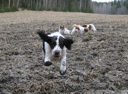 Spanieli pellolla