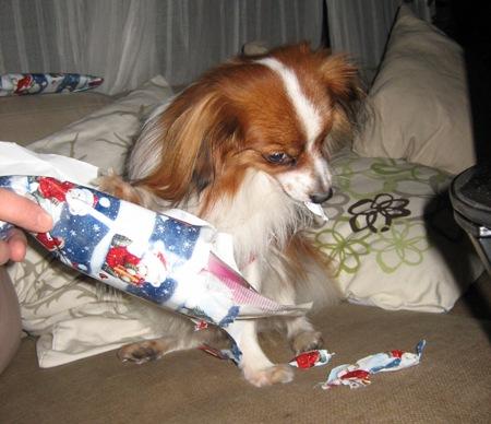 Dingo repi paketit raivokkaasti auki
